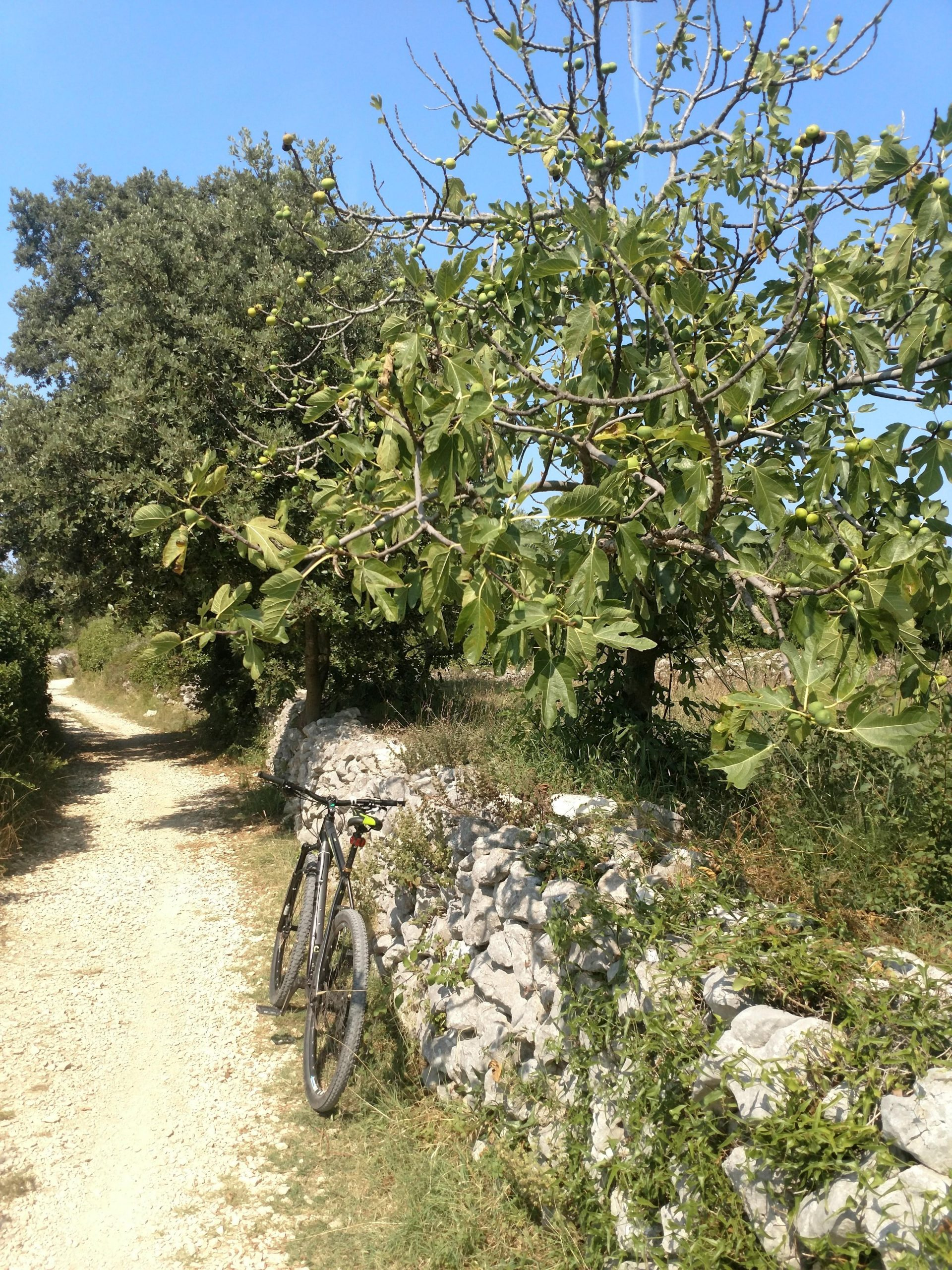 olive and fig trees